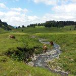 Kühe am Fluss